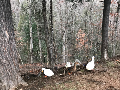 ducks foraging in the woods