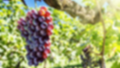 wine grapes.png