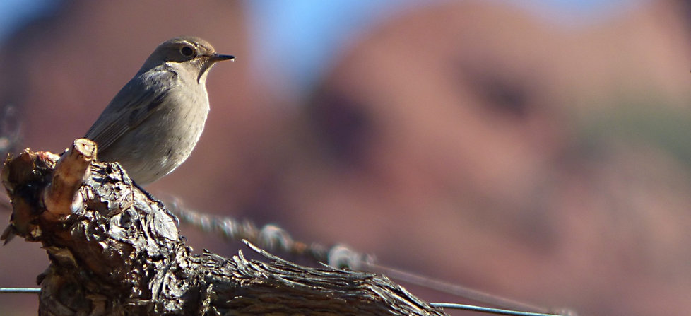 bird-black-redstart-phoenicurus-ochruros