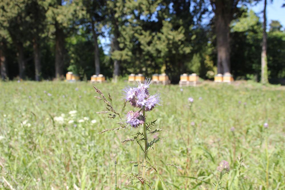 Une ruche en Provence_Séverine JUILLARD_champs-fleurs
