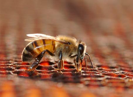 Origine et fabrication des bougies à la cire d'abeille