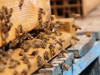 Comment les abeilles retrouvent-elles leur ruche ?