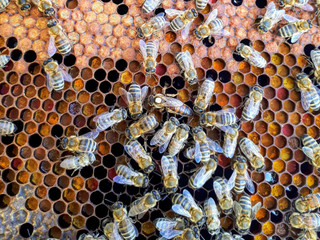Avez-vous déjà assister à la naissance d'une reine des abeilles ?