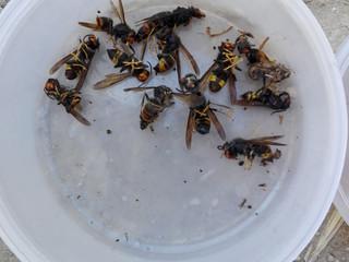 Le frelon asiatique : ce nouveau venu qui pose un problème sur l'apiculture