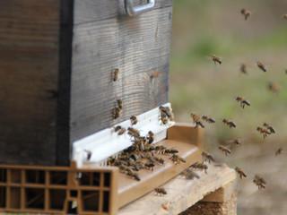 Histoires d'apicultrice - E2020-4 : l'évolution de la colonie au printemps.