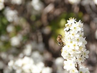 Planter des fleurs pour les abeilles !