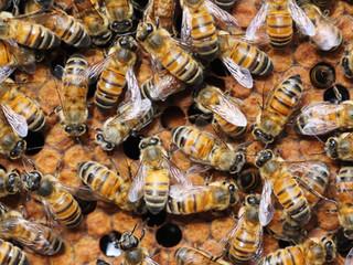 Comment savoir si votre colonie d'abeilles est forte ?