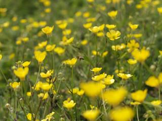 Histoires d'apicultrice - E2020-3 : des fleurs et encore des fleurs !