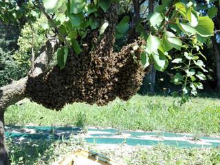 Histoires d'apicultrice - E2020-5 : l'essaimage des colonies.