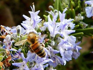 Le romarin : une plante aromatique mellifère.