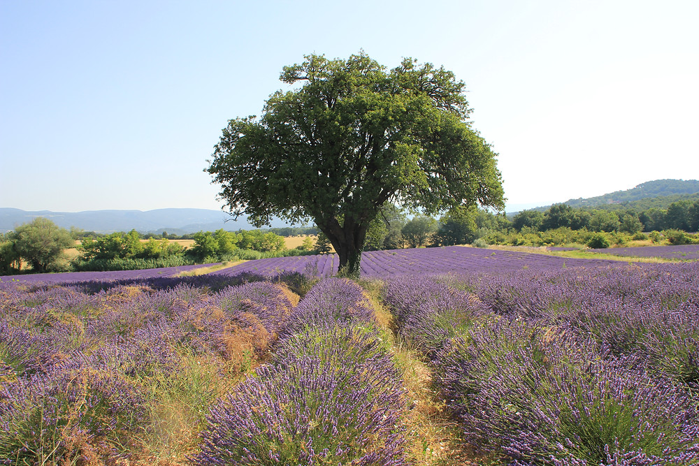 Une ruche en Provence_Séverine JUILLARD_champs-de-lavandins
