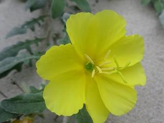 Les fleurs entendent-elles les abeilles ?
