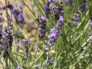La lavande : une couleur parfumée, un fort potentiel apicole.