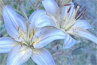 20070705-CRW_0941_Snow_lilies_belize.jpg