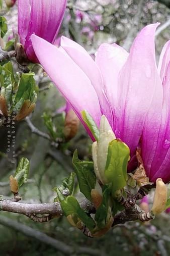 Magnolia - Color of Nobility