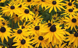 black eye susan 2