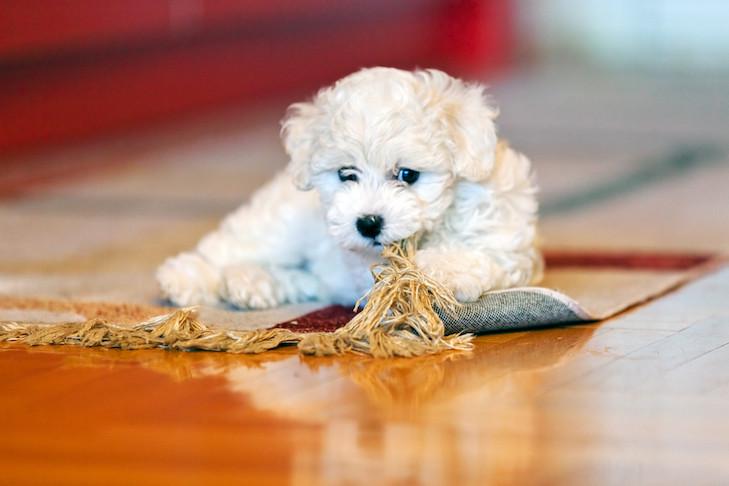 Dog Chewing Rug Fringes