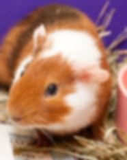 Periwinkle-Guinea-Pig.jpg
