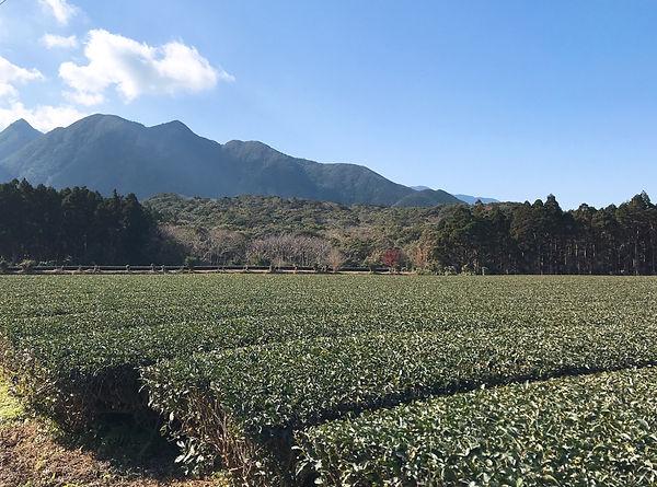 有機栽培 茶畑