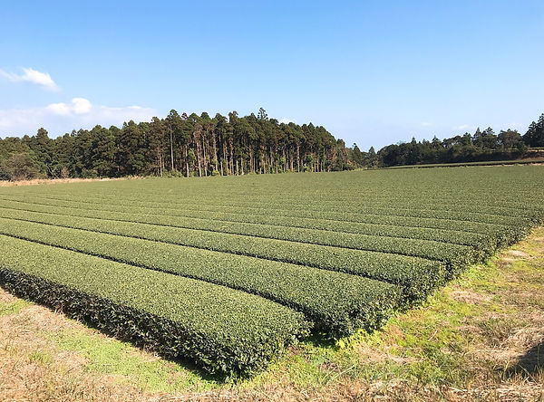 屋久島 茶畑