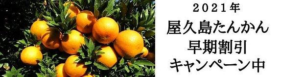 屋久島たんかん 早期割引 キャンペーン中.jpg