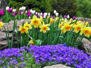 2.What are some of the first Spring flowers to bloom? Crocuses, Daffodils, Tulips, Lilacs, Irises.