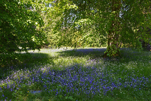 Woodland Bluebells.jpg