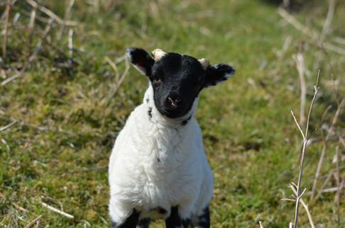 Cheeky Lamb April 19.JPG