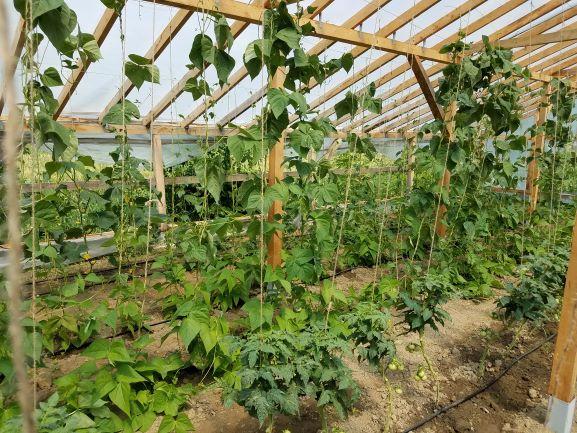 third greenhouse experimental crops bean