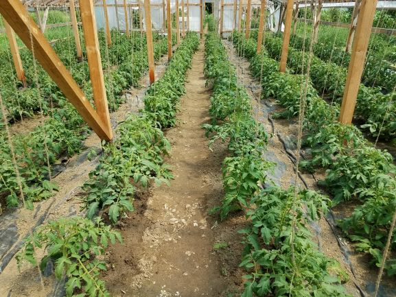 tomatoes second greenhouse