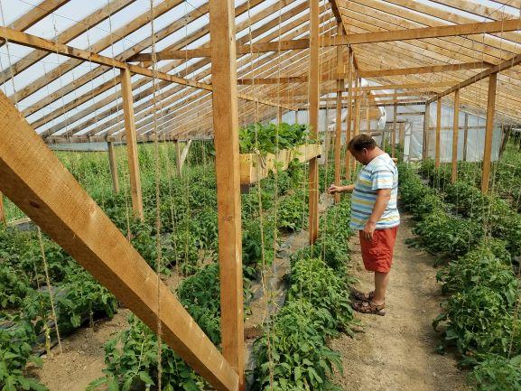 Tomatos in greenhouse