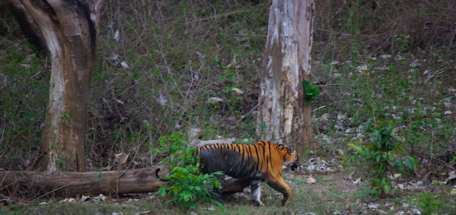 Stripeteased in Bandipur : A jungle experience.