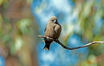 South-western Dusky Woodswallow