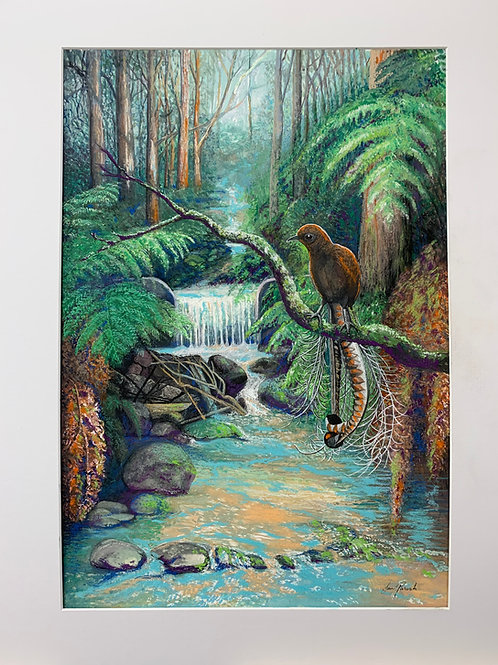 Jan Parish   Male Superb Lyrebird