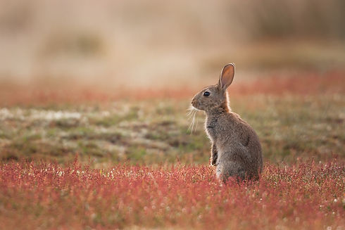Rabbit-(Oryctolagus-cuniculus-898211276_
