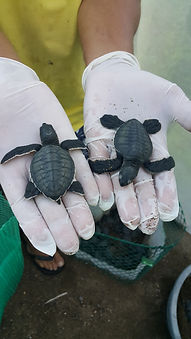 Drake Bay, Costa Rica, OSA Peninsula, Life For Life Hostel, Sea Turtle Conservation