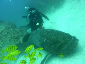 Goliath-Sea-Bass.jpg