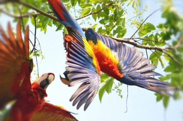 scarlet-macaw-at-corcovado-national-park