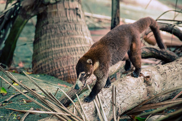 Costa-Rica-Corcovado-Nationalpark-Animal