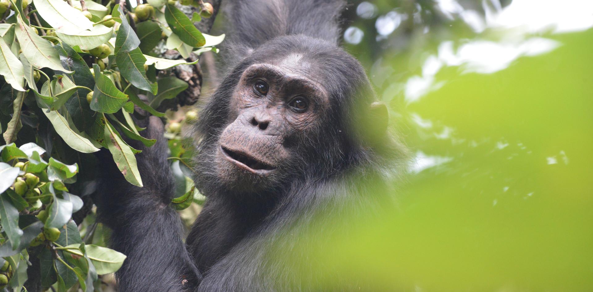 Chimpanzee Rwanda.JPG