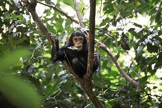 mm.mahale.chimps23.jpg