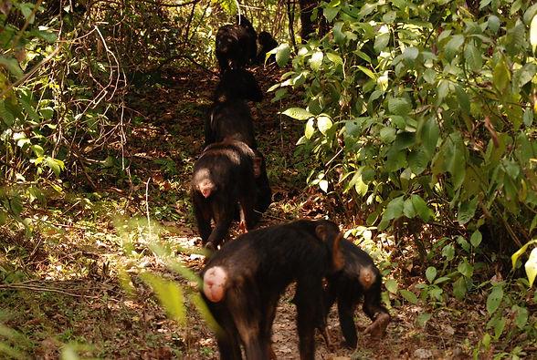 mm.gombe.chimps5.jpg