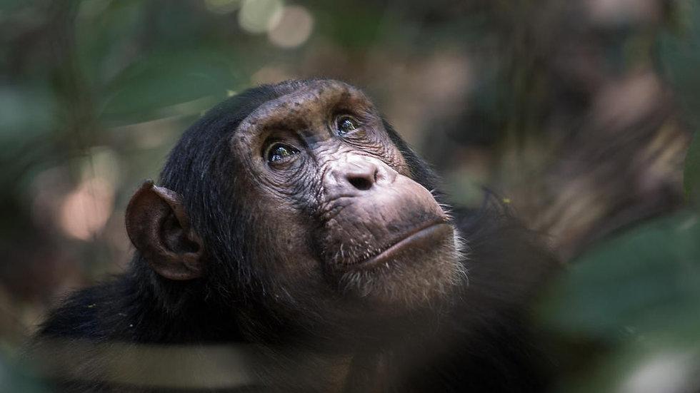 chimpanzee tracking homepage header image.jpg