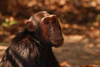 mm.gombe.chimps10.jpg