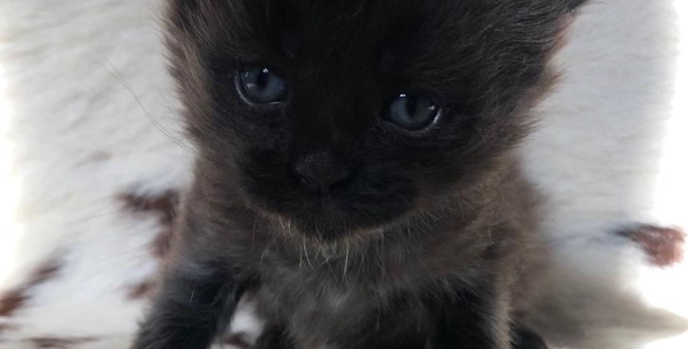 Mainecoon Kitten -Future Litter
