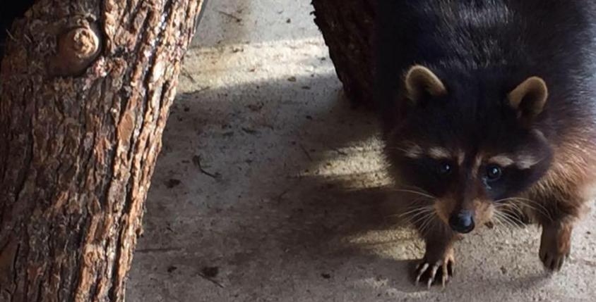 2021 Deposit Black Raccoon Kit