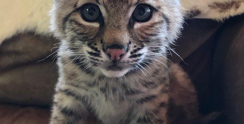 2021 Deposit Bobcat Kitten