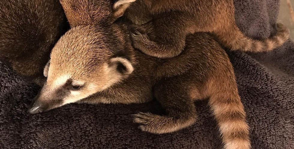 2021 Deposit Mountain Coatimundi Male Kit