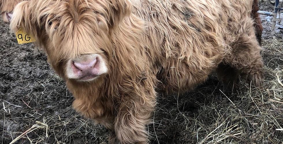 Scottish Highland  Heifer Calves