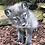 Thumbnail: 2021 Deposit Polar or Blue Arctic Fox Kit